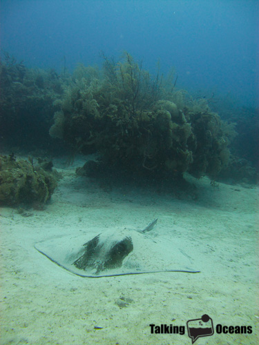 A resting stingray near the reef front, Turks & Caicos Islands