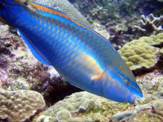 princess-parrotfish.jpg