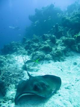 Reef_stingray