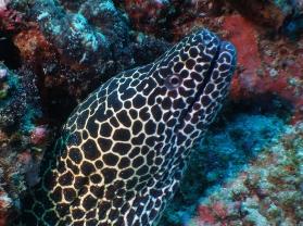 honeycomb moray